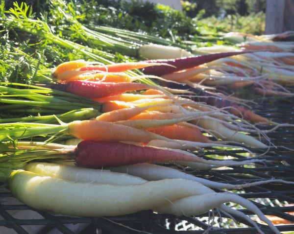 rainbow carrots