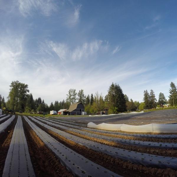 mulch rows