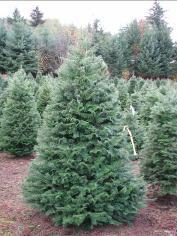 U-Cut Christmas Trees