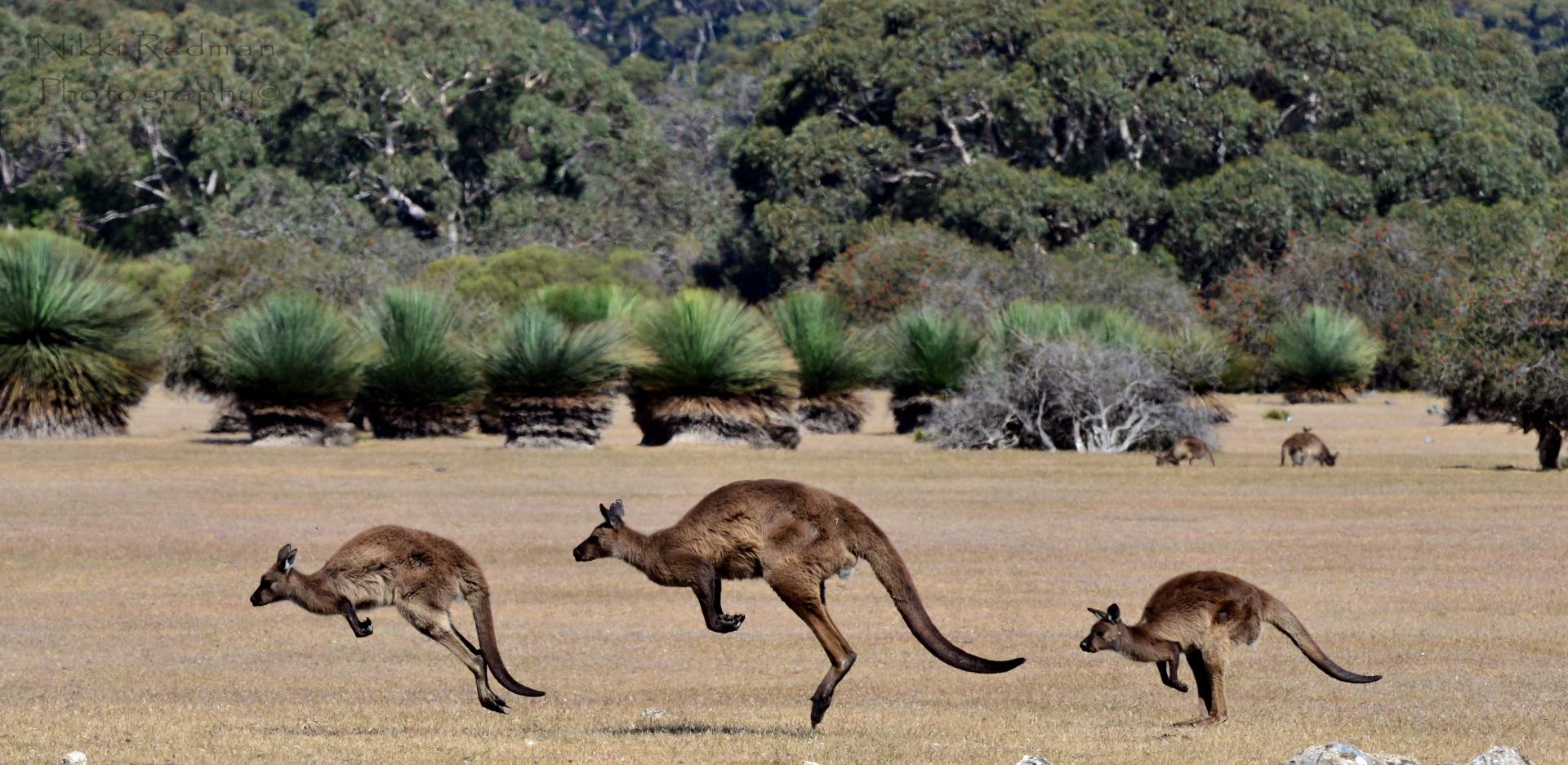 Kangaroo Island Kangaroo Mob