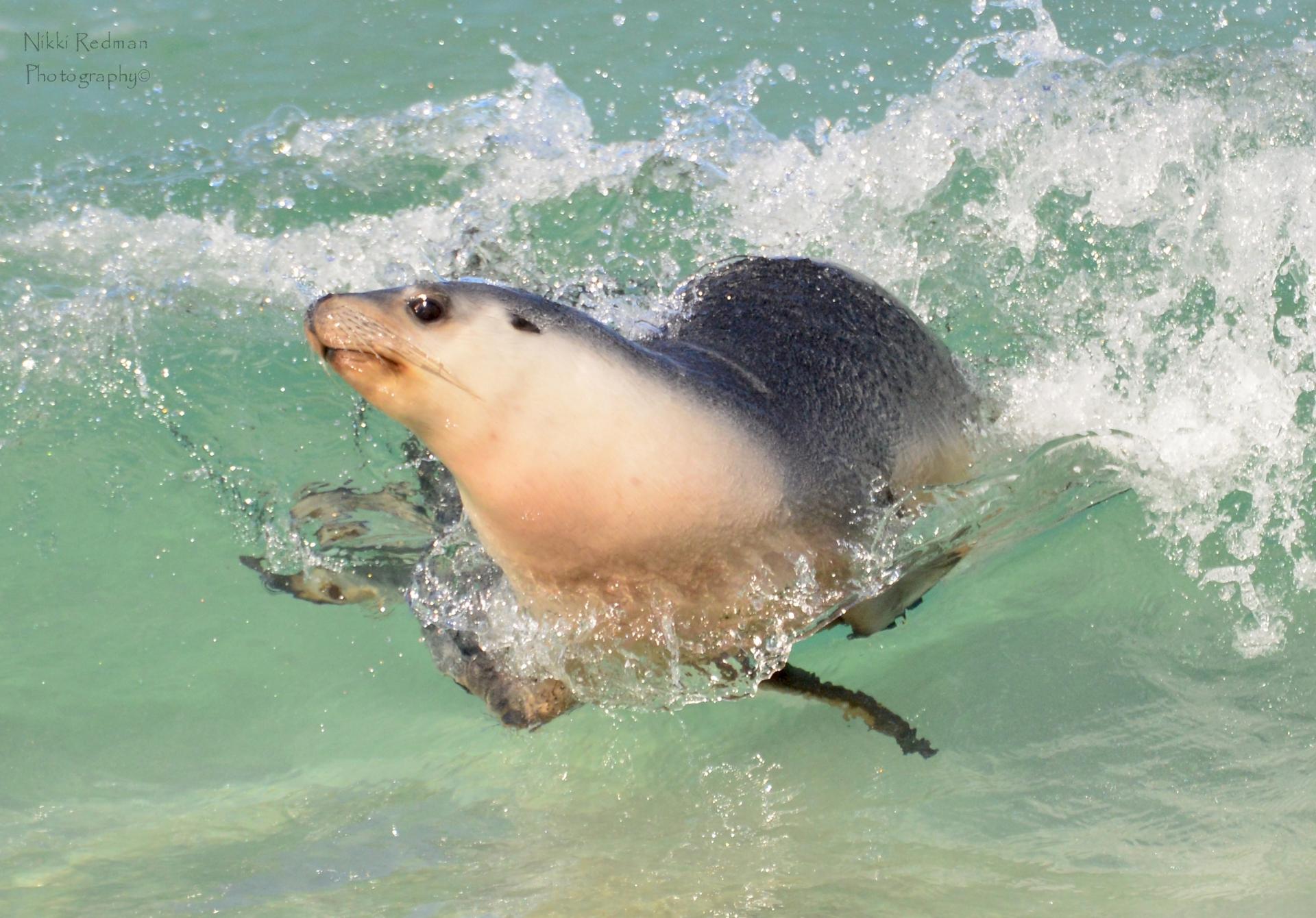 Seal Kangaroo Island
