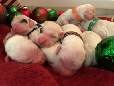 Christmas Eve Puppies