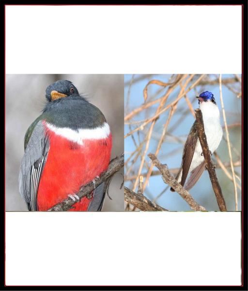 Elegant Trogon and Violet-crowned Hummingbird by Alan Schmierer