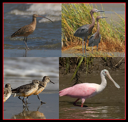 Long-billed Curlew, Reddish Egrets, and Red Knots by Dan Vickers / Roseate Spoonbill by Darlene Moore
