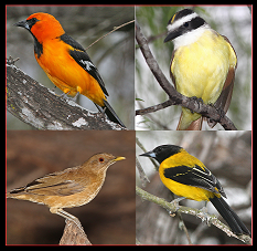 Altamira Oriole, Great Kiskadee, Audubon's Oriole, and Clay-colored Thrush by Alan Schmierer