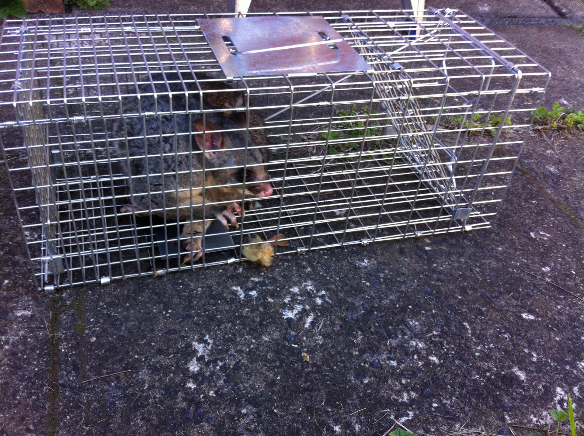 Possum Trapping.