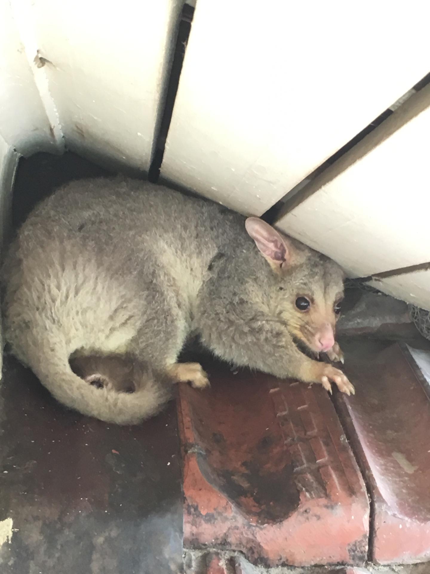Evicted Possum.