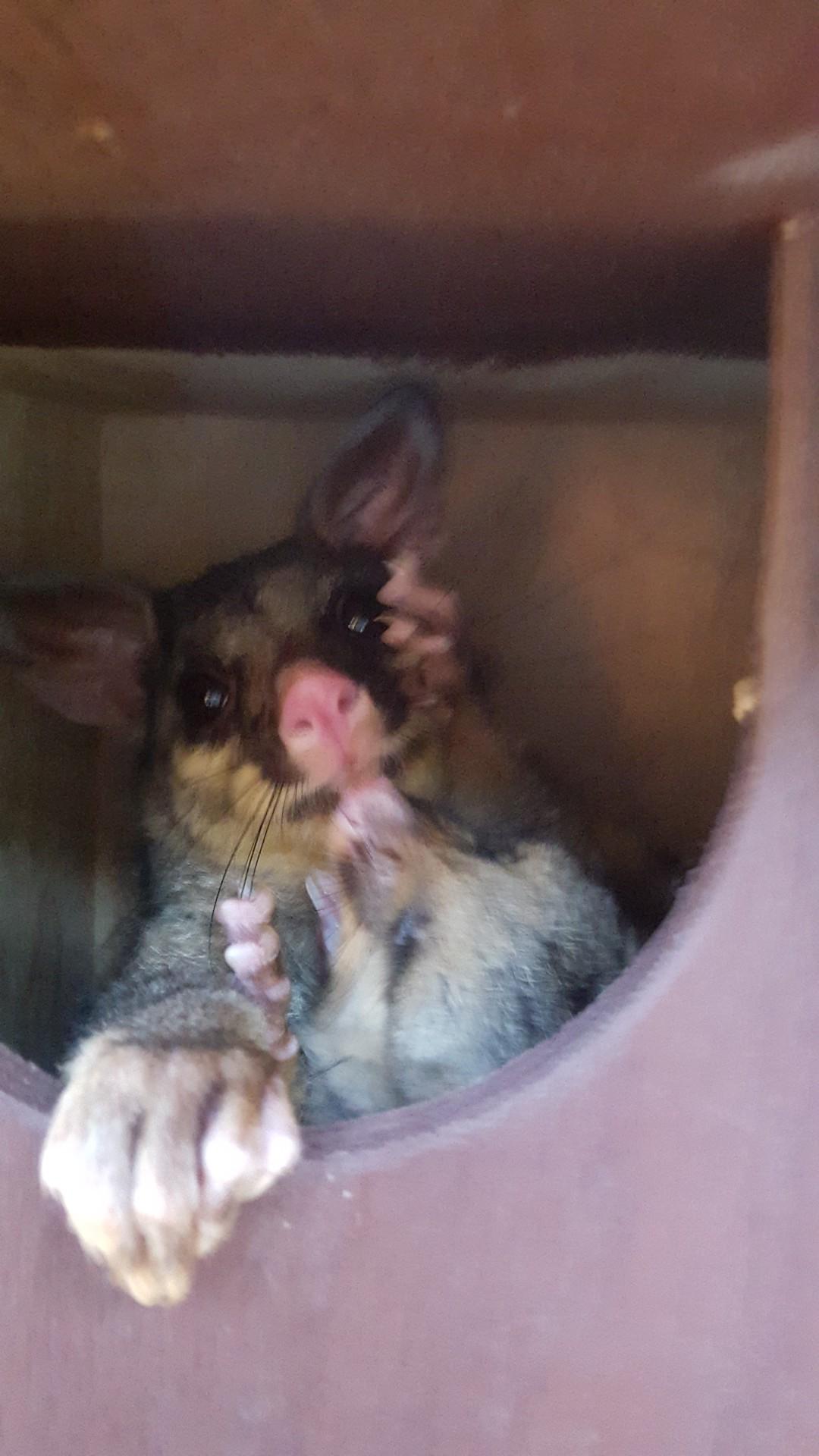 Possum with Joey In Nesting Box.