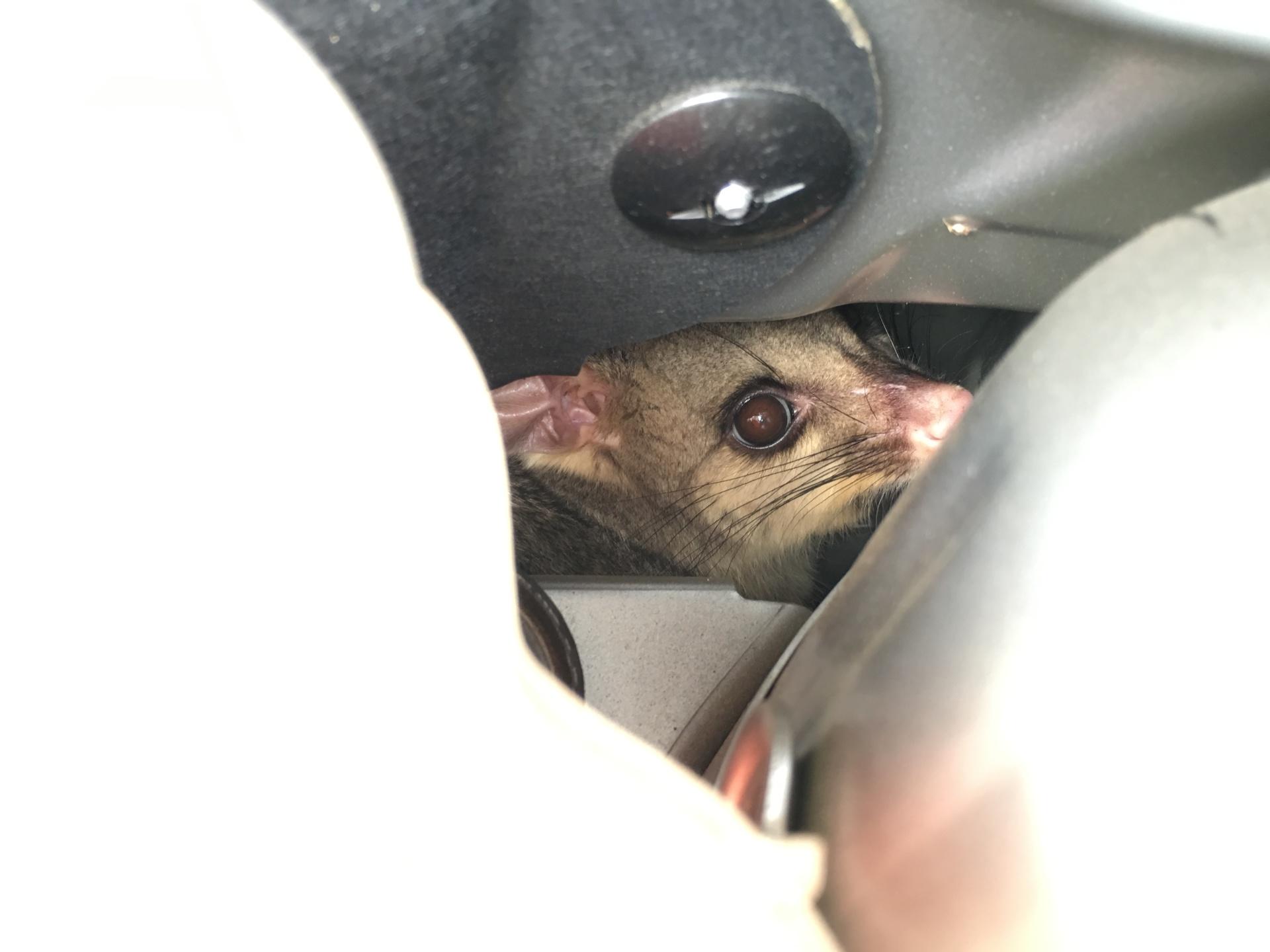 Possum Inside Car Engine Bay.