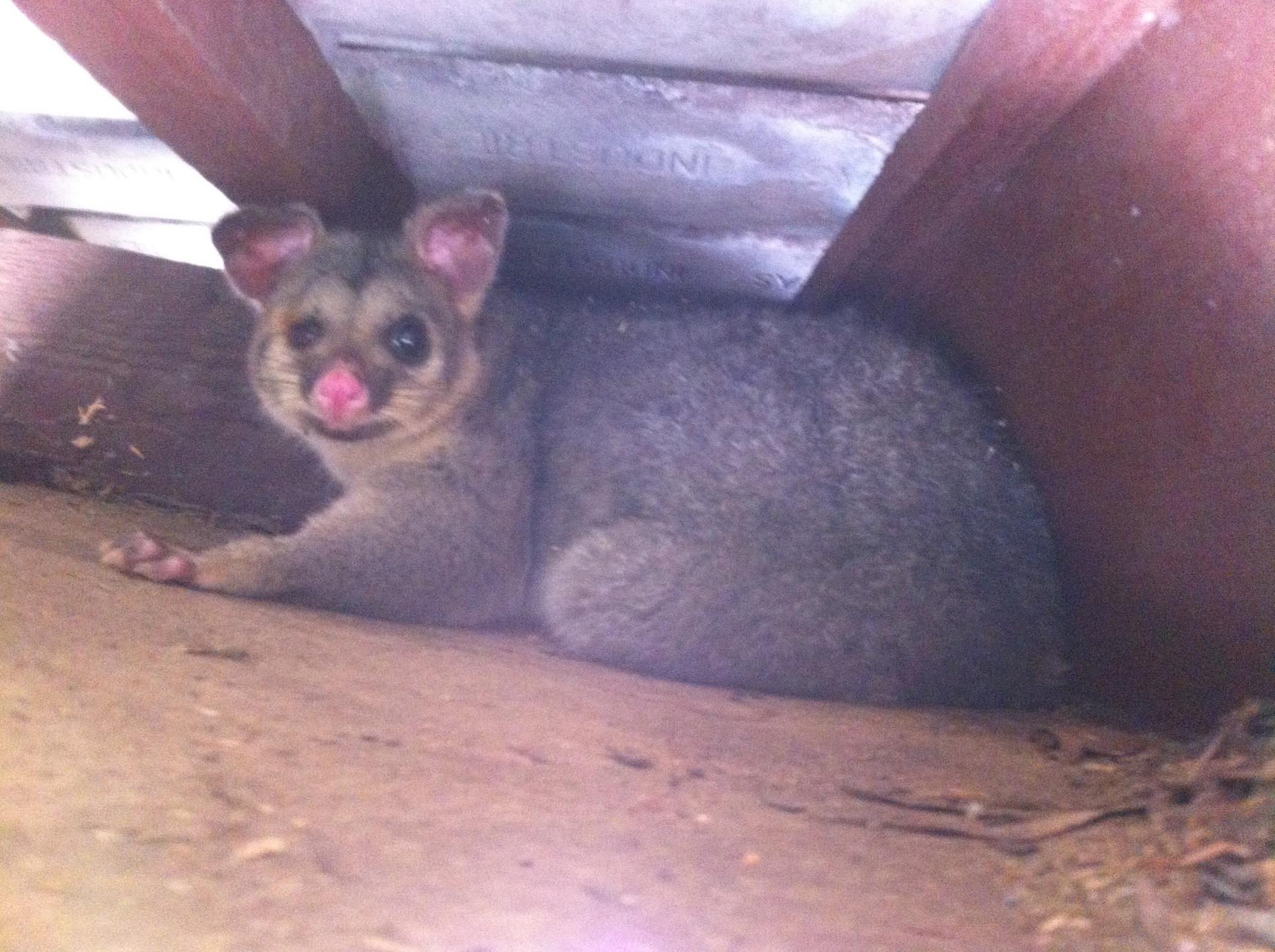 Possum Nesting above eaves.
