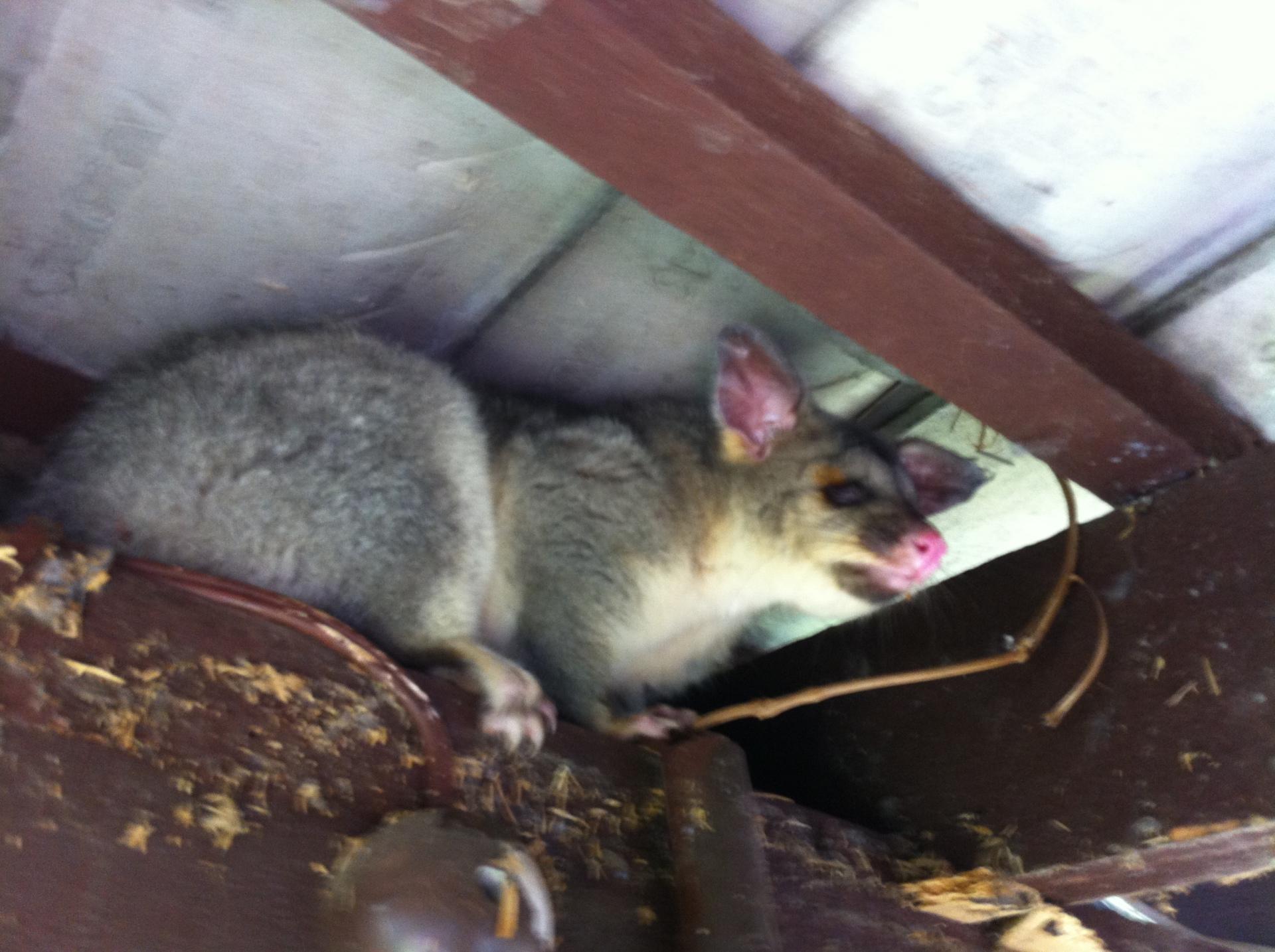 Possum On Eaves.