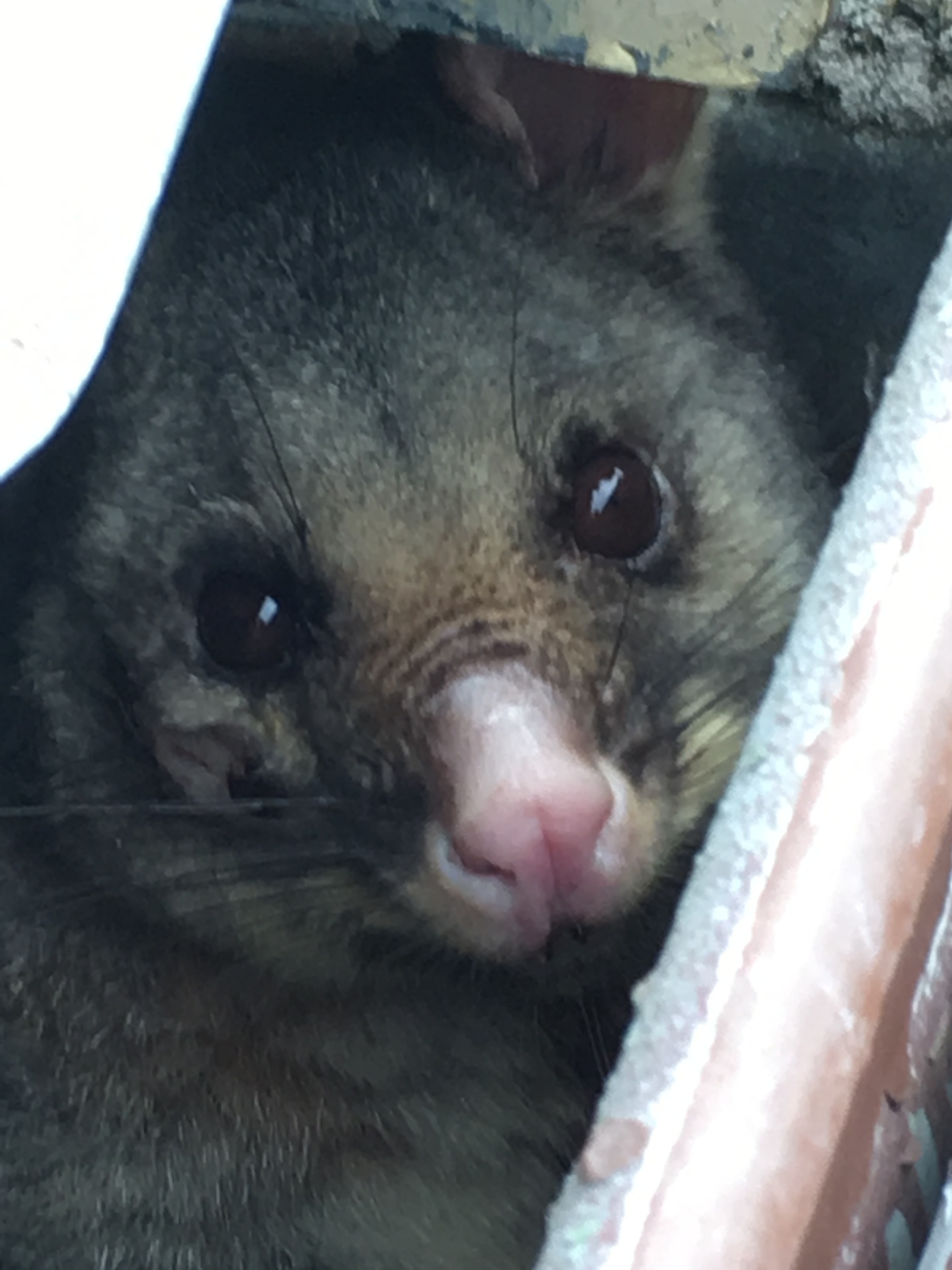 Possum In Guttering.