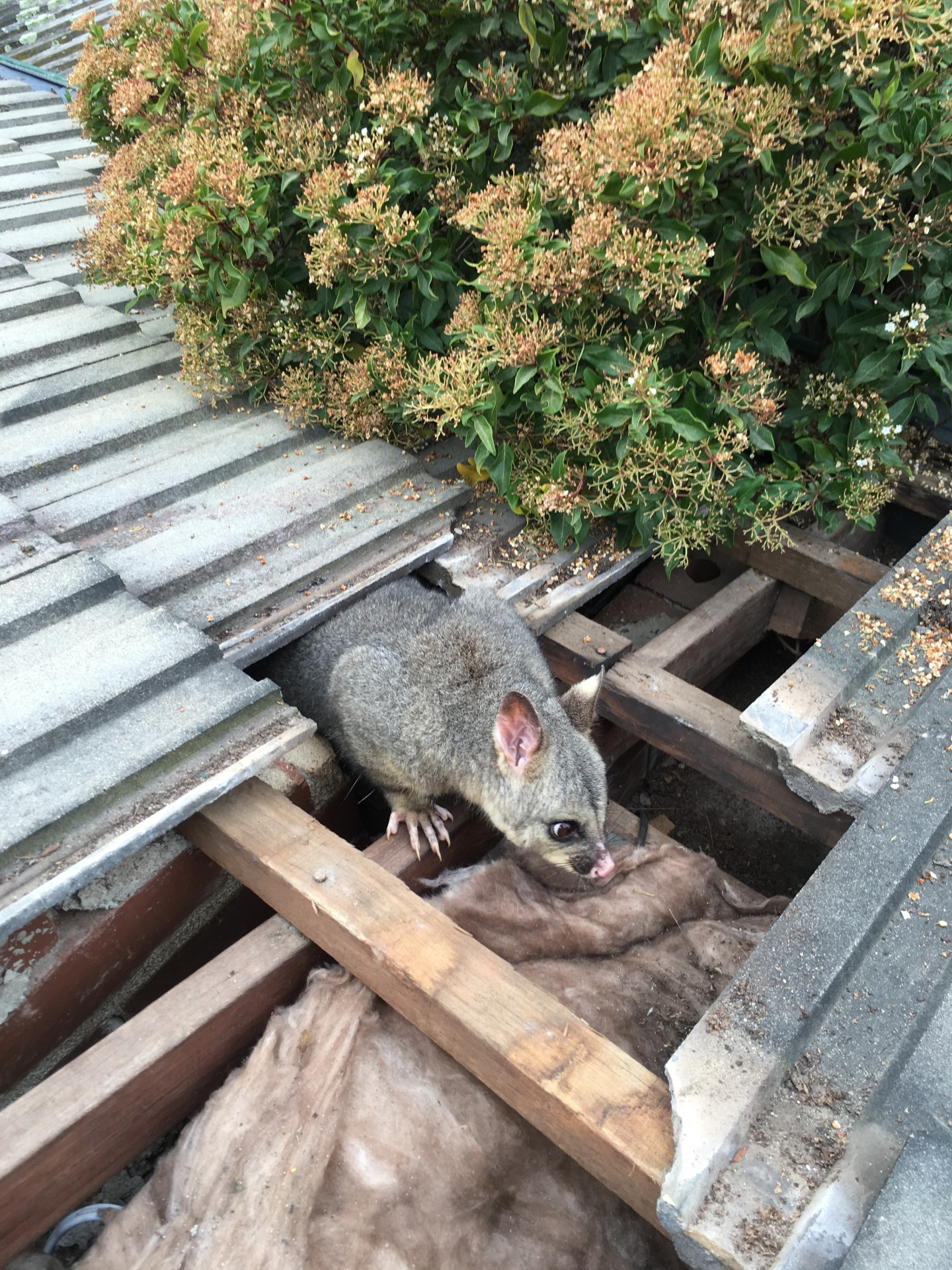 Possum On Ceiling.