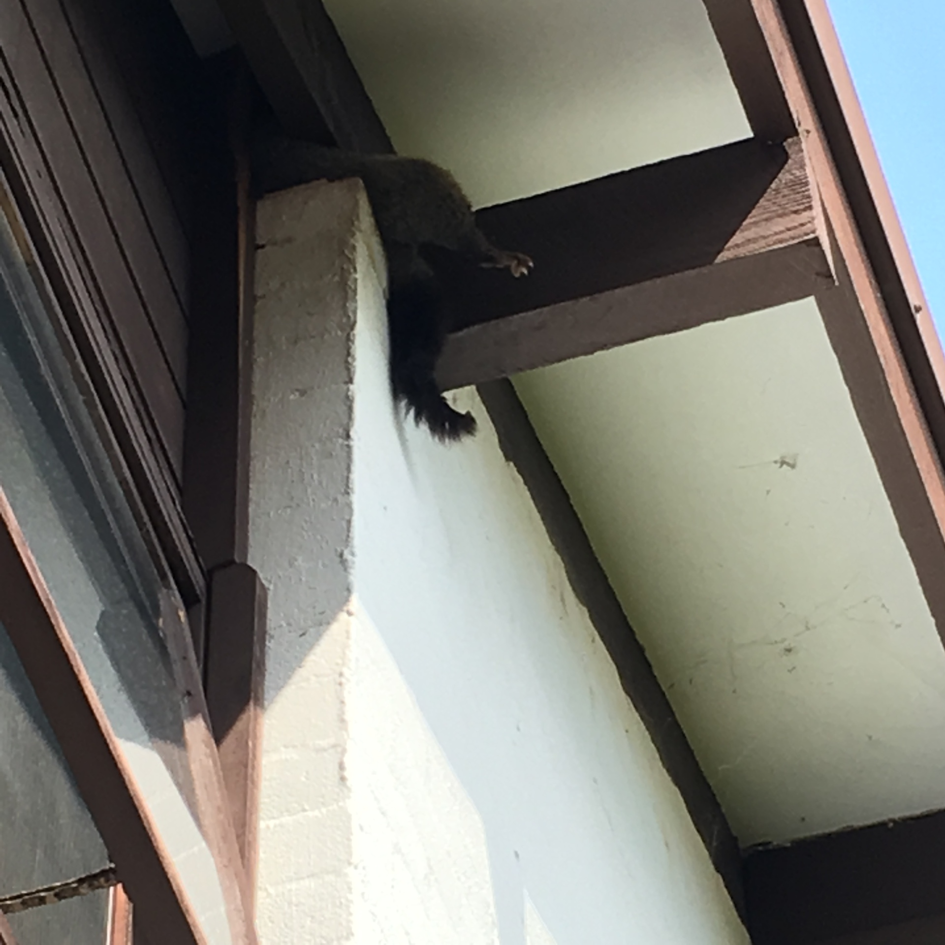 Possum Entering Wall Cavity.