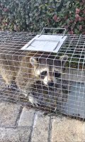Raccon extraction out of customers attic in the Villages