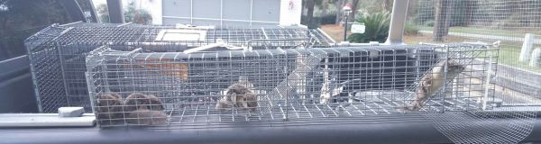 4 Flying squirrels out of customers attic in Ocala