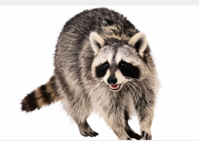 Raccoons in your attic?