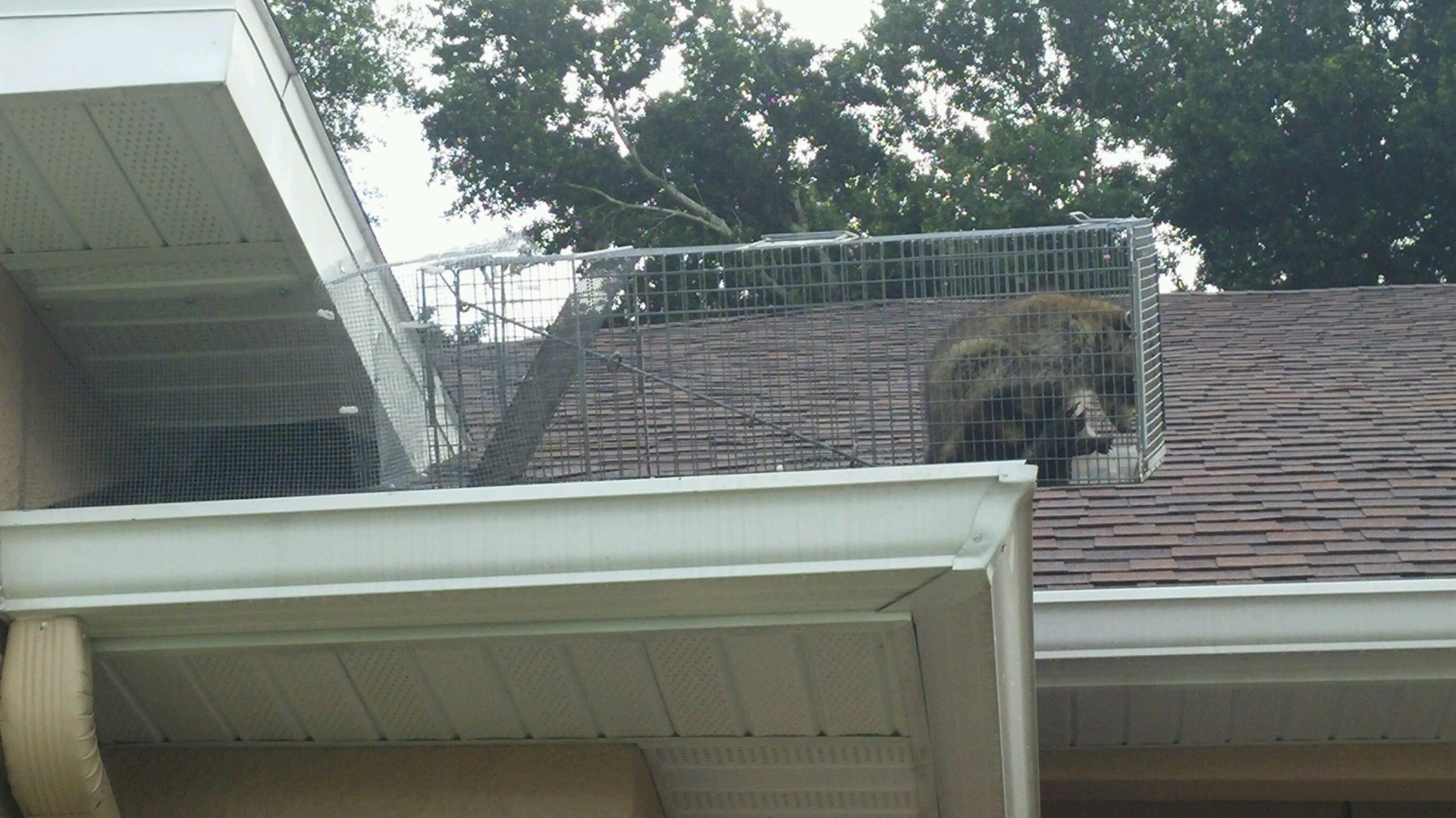 Raccon Trap in Clermont. Sometimes you have to get creative