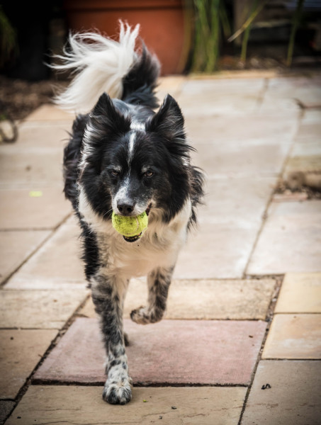 Alfie with ball at TheDogFatherWorcester