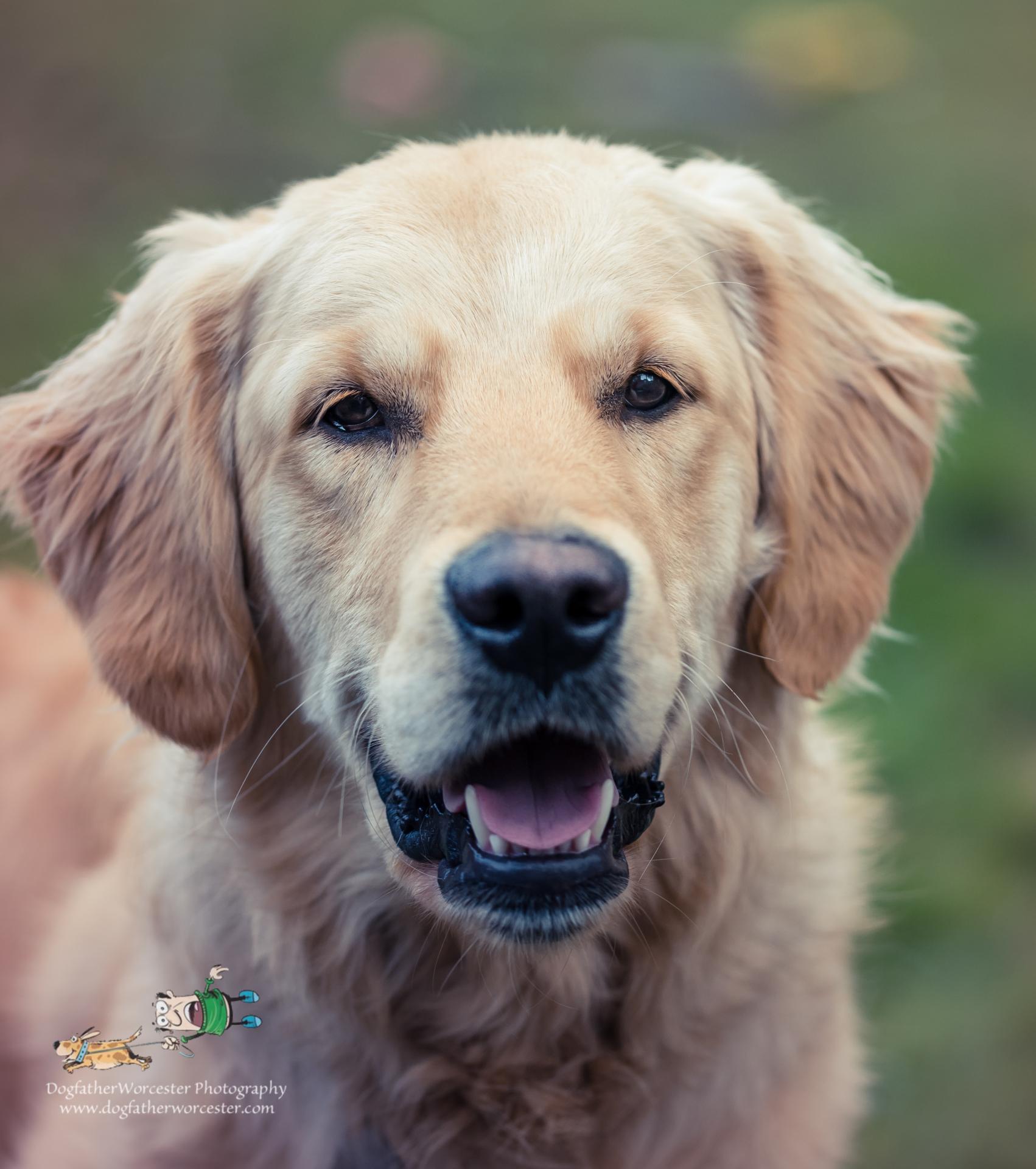 Labrador smiling