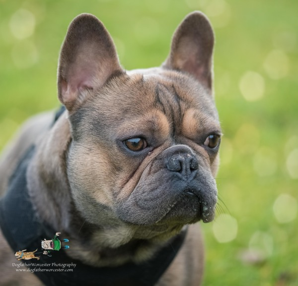 French Bull Dog