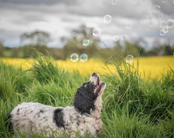 Spaniel chasing bubbles