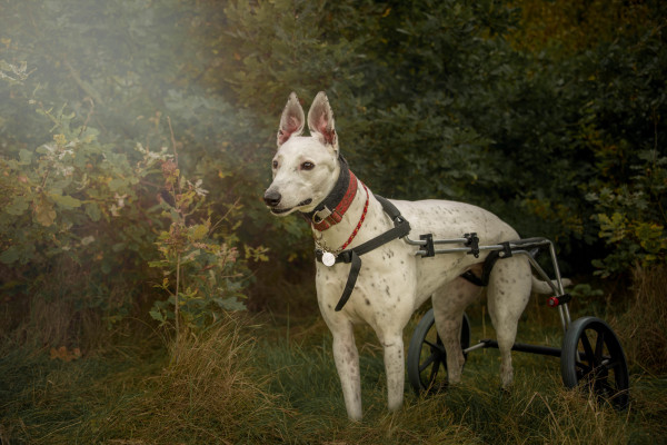 Disabled dog walking