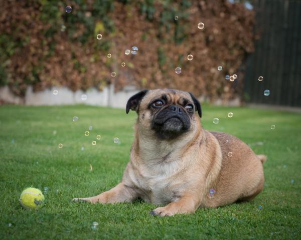 Pug bubbles!