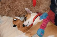 Podenco with toys
