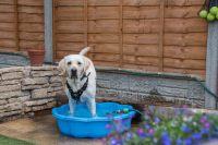 Labrador in pool
