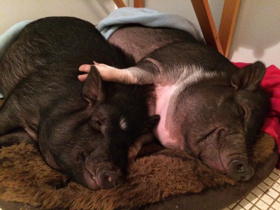 Have you heard of Single Pig aggression?