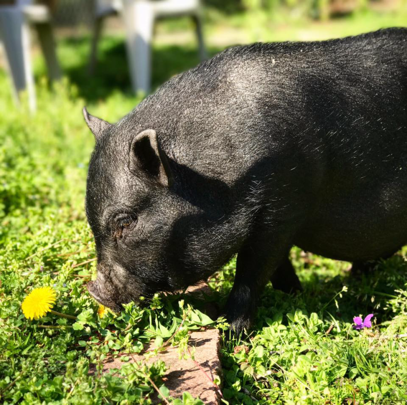 Why would you want a Pig?