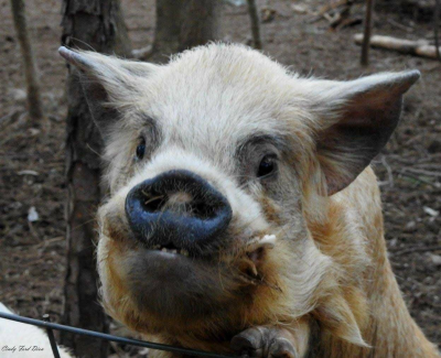 Potbelly pigs and common misconceptions