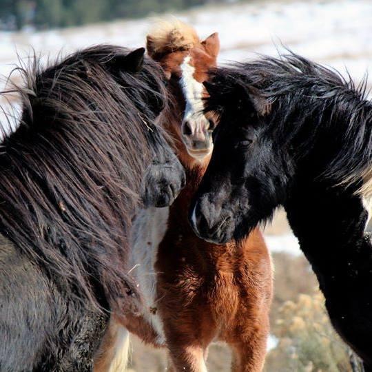 Icelandic stallions