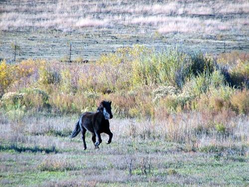 Icelandic Horses in Colorado
