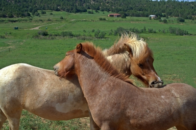 Icelandic Roan horses in Colorado
