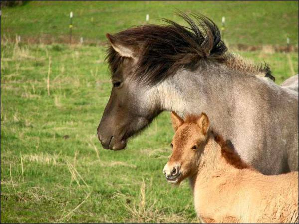 Icelandic Roan Mare and Foal
