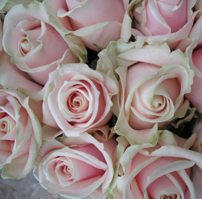 Sweet Avalanche roses.