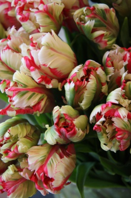 Elegant parrot tulips available in Spring.