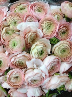 Pink blush ranunculus.