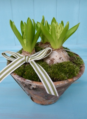 Hyacinths in Aged Terracotta Pot