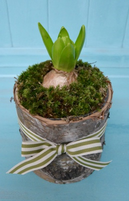 Hyacinth with Bunmoss in a Bark Container