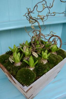 Hyacinth Trug of planted bulbs with Bunmoss and Hazle