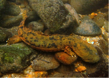Mills River Giant Salamander Program was a success!