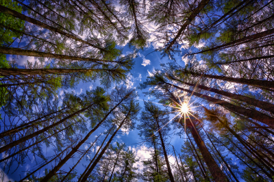 Sun filtering through top of pine trees