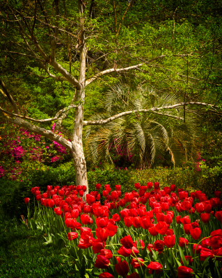 tulips,flowers,garden,red flowers