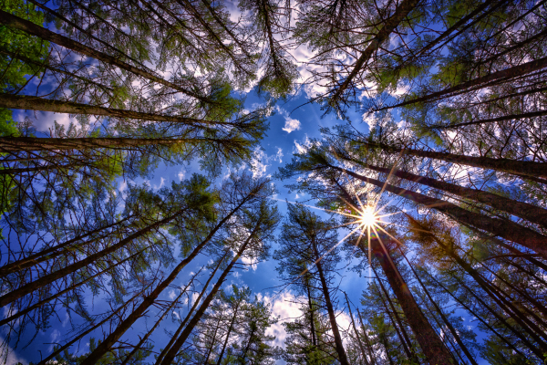 the sun filtering through tall pines, looking at the sky
