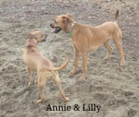 Rhodesian Ridgeback, Pit bull mix, Loch Haven Dog Park, Dog devotionals.com