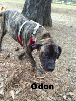 Presa Canario, Loch Haven Dog Park, Hoover AL, dogdevotionals.com, dogs, devotionals
