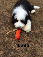 Old English sheepdog, Poodle, Loch Haven Dog Park, Hoover AL, dogdevotionals.com, Christian Devotionals